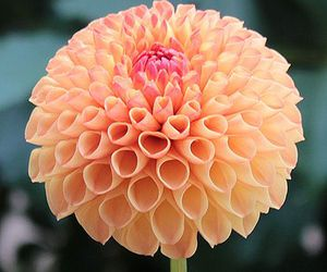dahlia, flower, and orange image
