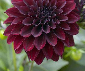 dahlia, flower, and beautiful image