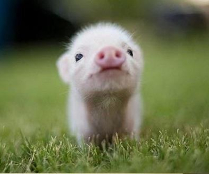 adorable, pig, and so cute image