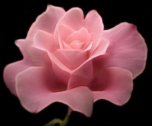 black background, pink, and pink roses image