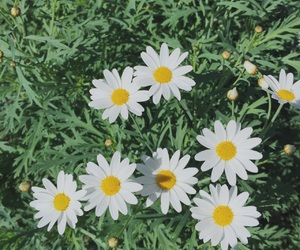 camomile, flower, and garden image