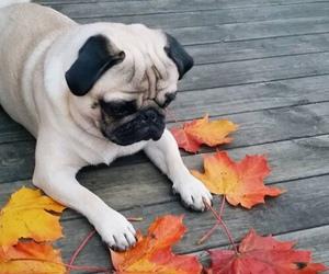pug, dog, and autumn image