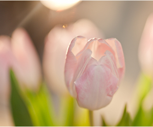 flower, pink, and tulips image
