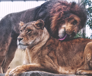 lion, animal, and love image