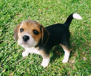 beagle, puppy, and cute image