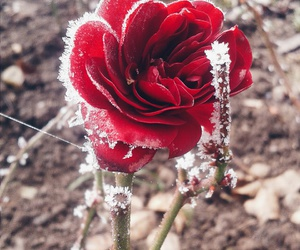winter, red red, and rose winter image