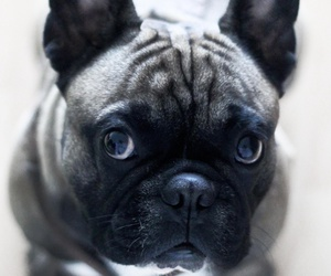 french bulldog and dogs image