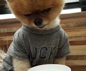 love, jiffpom, and dog image