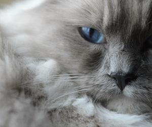 blue, blue eyes, and ragdoll image