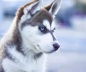 husky, dog, and cute image