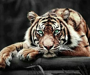 animal, animals, and tigre image
