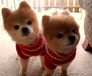 cute dogs, teddy, and tj image