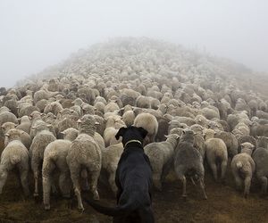 dog, photography, and sheep image