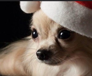 chihuahua and christmas image