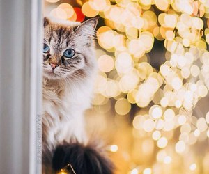 cat, christmas, and lightes image