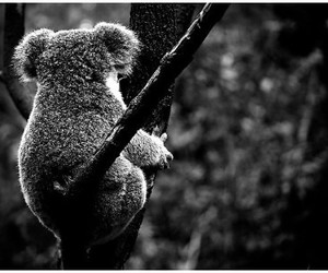 animal, bear, and Koala image