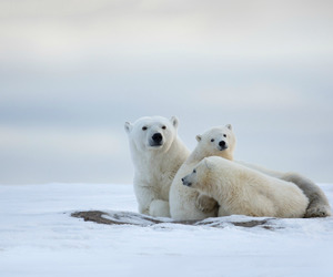 animals and Polar Bear image
