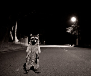 black and white, night, and raccoon image