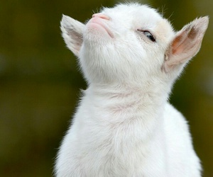 animal, funny, and goat image