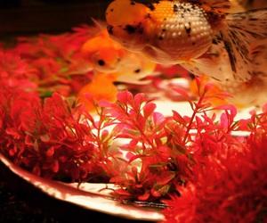 art, beautiful, and goldenfish image