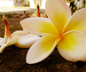 flowers, plumeria, and yellow image