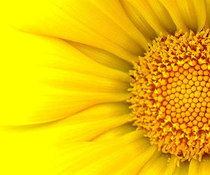 flower, yellow, and nature image