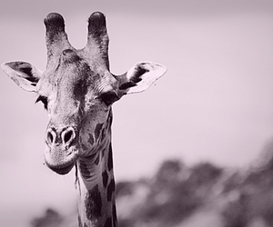 africa, animal, and black and white image