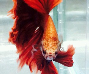 red, betta fish, and cute image