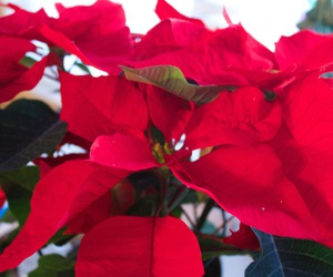 christmas, green, and flower image
