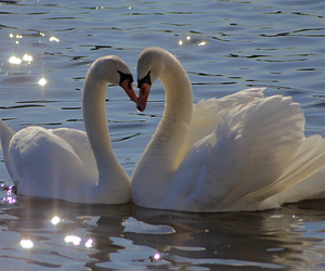 Swan, aesthetic, and heart image