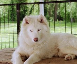 dog, husky, and white image