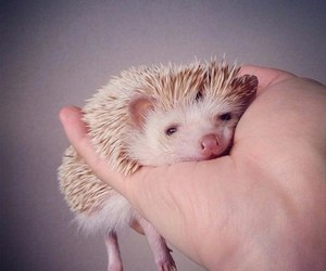 cute, animal, and hedgehog image