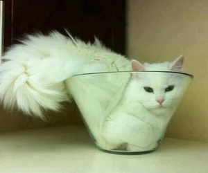 cat, white, and funny image