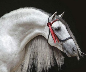 andalusian, beautiful, and equestrian image