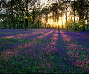 lavender, sunrise, and flower of fields image