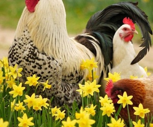 chickens, flowers, and rooster image