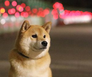 animal, dog, and shiba inu image