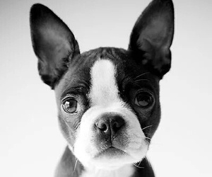 boston terrier, dog, and puppy image