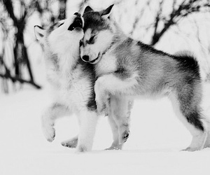 !, cute, and huskys image