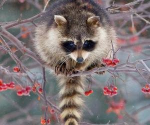 racoon, animals, and cute animals image