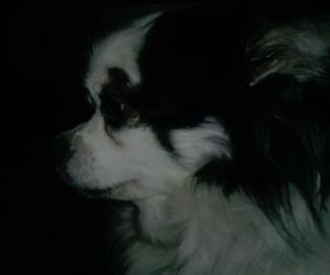 adorable, chihuahua, and dog image