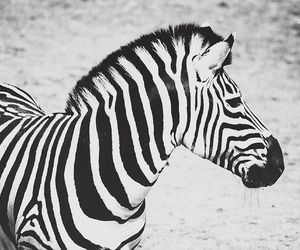 black and white, zebra, and karohfoto image