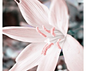 elegant, flowers, and lily image