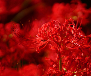 flower, flowers, and red spider lily image