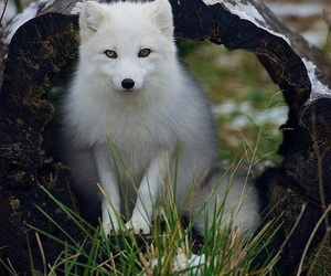 fox and arctic fox image
