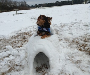 igloo, chihuahua, and snow image