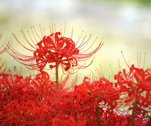 flower, flowers, and japan image