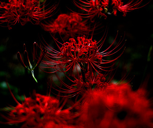 flowers, red, and red spider lily image