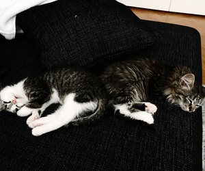cats, siblings, and cute image