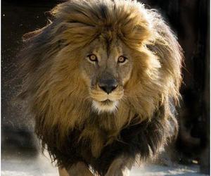 animal, lion, and pretty image
